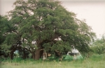 teepee under oaks