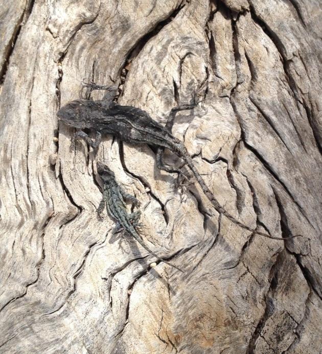 lizards cu